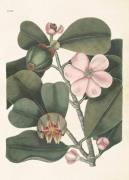 Plakat Clusia rosea 50x70 cm