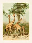 Plakat Giraff 18x24 cm