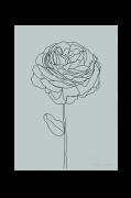 Poster Ranunculus